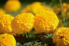 Yellow marigolds in the sun. Yellow marigolds blooming in the sun Stock Photo
