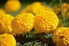 Yellow marigolds in the sun Stock Photo