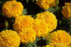 Yellow marigolds in the sun. Yellow marigolds with vibrant colour in the sun Royalty Free Stock Photography