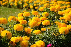 Yellow marigolds. With vibrant colour in garden Stock Images