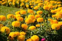 Yellow marigolds Stock Images