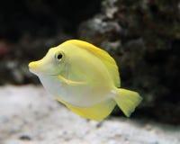 Yellow Marine Fish. Vivid Yellow Marine Fish Swimming in the Sea Stock Photo