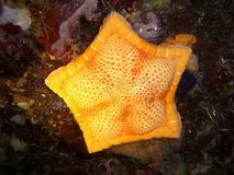 Yellow marine star Royalty Free Stock Photos