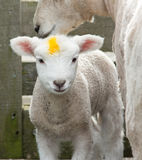 Yellow Mark Lamb Royalty Free Stock Photos