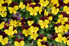 Yellow and Maroon Pansy Flowers Background Stock Photography