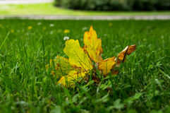 Yellow marple leaf on the green grass Royalty Free Stock Photos