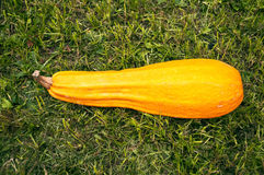 Yellow marrow Royalty Free Stock Photo