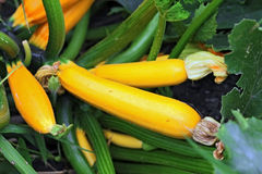 Yellow marrows growing on the bed. Summertime stock image