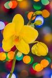 Yellow X-mas orchid stock photos