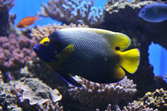 Yellow mask angelfish. In acoral reef Stock Photos