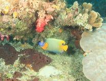 Yellow-mask angelfish Stock Photos