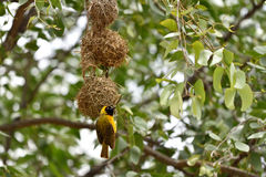 Yellow Masked Weaver bird, Namibia. Southern Yellow Masked Weaver bird building a nest, Namibia, Africa Royalty Free Stock Photography