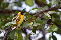 Yellow Masked Weaver bird. Southern Yellow Masked Weaver bird sits on the branch, Namibia, Africa Royalty Free Stock Photos