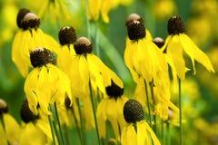 Yellow coneflower mass Stock Images
