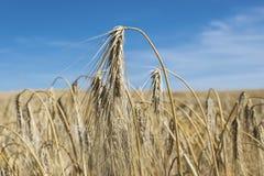 Yellow, mature barley Royalty Free Stock Photo