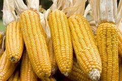 Yellow  mature corn cob Royalty Free Stock Photo