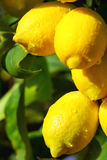 Yellow mature lemons. Royalty Free Stock Photos