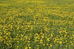 Yellow meadow. Meadow in the spring sunshine full of flowering dandelions Royalty Free Stock Photography