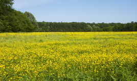 Yellow Meadow Stock Images