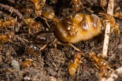 Yellow meadow ants (Lasius flavus) tending queen Royalty Free Stock Image