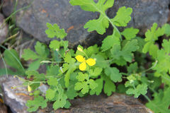 Yellow meadow buttercup growing on the rocks. Stock Images
