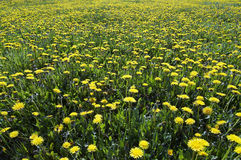 Yellow meadow - dandelions Stock Photos