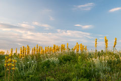 Yellow meadow florets against the sky Royalty Free Stock Photos