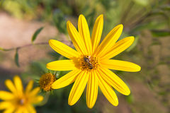Yellow meadow flower daisy in the heart sits a bee collects pollen and nectar Royalty Free Stock Images