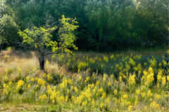 Yellow meadow of flowers Stock Photos