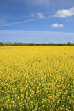 Yellow Meadow of Flowers. Meadow of yellow flowers in bloom, summer or spring time theme, suitable for a variety of nature, environment, outdoor, seasonal Royalty Free Stock Images