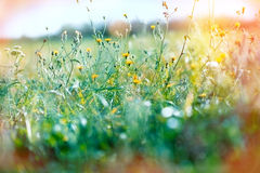 Yellow meadow flowers. Beautiful yellow meadow flowers in spring Stock Photo