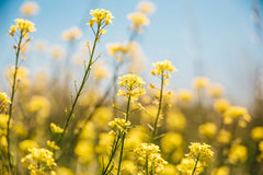 Yellow meadow flowers.Blue sky background. Yellow meadow flowers.Blue sky background Royalty Free Stock Images