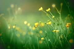Yellow meadow flowers close up Stock Photos