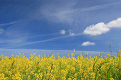 Yellow Meadow Flowers, Sky Stock Photos
