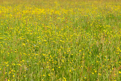 Yellow meadow Royalty Free Stock Photography