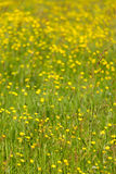 Yellow meadow. Meadow with yellow flowers on a sunny, spring day Royalty Free Stock Photos