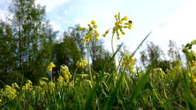 Yellow meadow flowers sway in the wind. A lot of yellow flowers in the meadow. Evening of summer day. stock footage