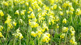 Yellow meadow flowers sway in the wind. A lot of yellow flowers in the meadow. stock video footage