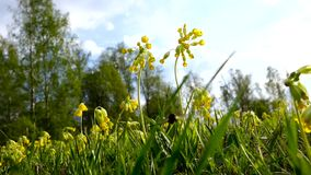 Yellow meadow flowers sway in the wind. A lot of yellow flowers in the meadow. Evening of summer day. stock video footage