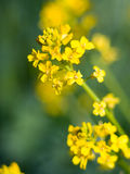 Yellow meadow flowerses. close up Stock Photo