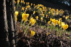 Yellow meadow saffron Royalty Free Stock Photo