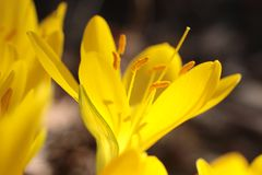 Yellow meadow saffron Royalty Free Stock Images