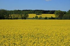 Yellow meadow in summer. A picture of a vast meadow, covered in yellow flowers over summer. A forest can be seen in the distance stock photos