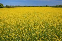 Yellow Meadow in Summer or Spring. Meadow of yellow flowers in bloom, summer or spring time theme, suitable for a variety of nature, environment, outdoor Stock Photo