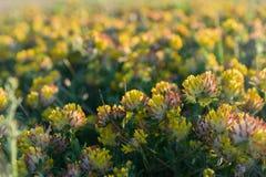 Yellow meadow sunset wild flowers closeup Stock Photography