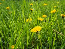 Yellow medical coltsfoot blooming field Tussilago farfara also called mother and stepmother flower stock photos