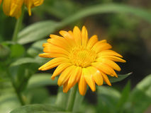 Yellow medical flower. Single flower of a medical herb calendula Royalty Free Stock Images