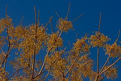 Yellow medlar berries on a clear blue sky - Mespilus germanica. Yellow medlar berries on leafless  ranches on a clear blue sky Stock Photography