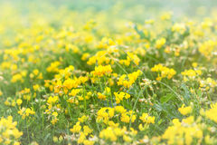 Yellow medow flowers Royalty Free Stock Image