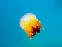 Yellow jellyfish in the clear blue sea. One yellow jellyfish floats in the clear blue sea Royalty Free Stock Image